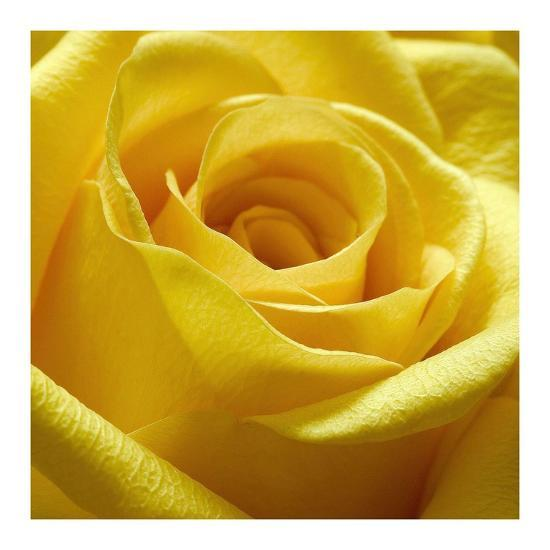 Yellow Rose-PhotoINC Studio-Art Print