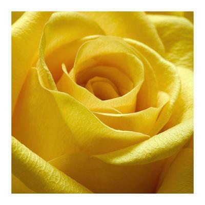 https://imgc.artprintimages.com/img/print/yellow-rose_u-l-f8vnaz0.jpg?p=0
