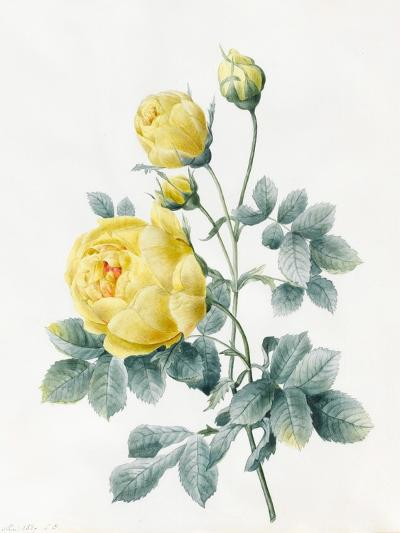 Yellow Roses, 1827-Louise D'Orleans-Giclee Print