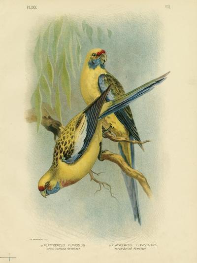 Yellow-Rumped Parakeet or Yellow Rosella, 1891-Gracius Broinowski-Giclee Print