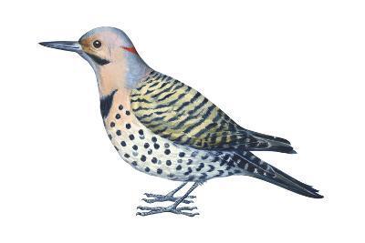 Yellow-Shafted Flicker (Colaptes Auratus), Birds-Encyclopaedia Britannica-Art Print