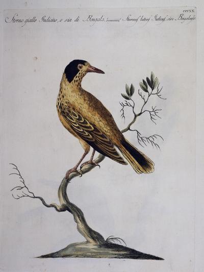 Yellow Starling (Indian or Bengal) (Sturnus Luteus Indicus--Giclee Print