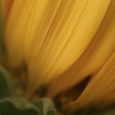 Yellow Sunflower Closeup-Anna Miller-Photographic Print