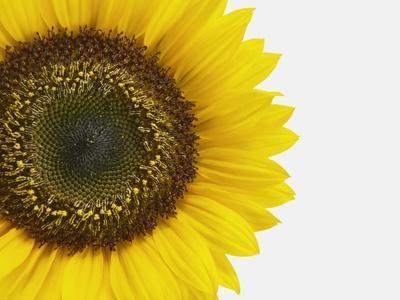 https://imgc.artprintimages.com/img/print/yellow-sunflower_u-l-pzks1b0.jpg?p=0