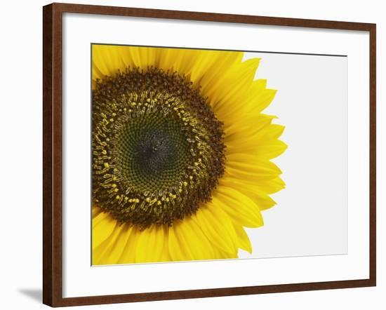 Yellow Sunflower--Framed Photographic Print