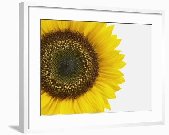 Yellow Sunflower--Framed Photographic Print