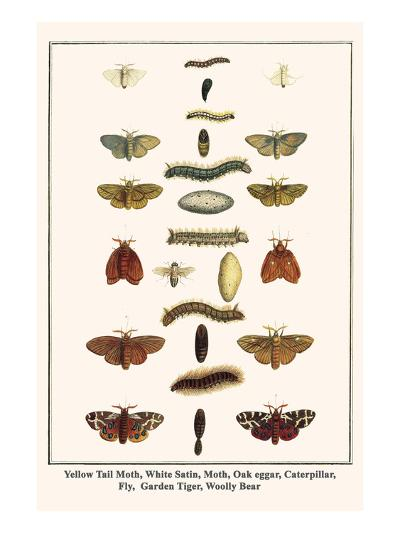Yellow Tail Moth, White Satin, Moth, Oak Eggar, Caterpillar, Fly, Garden Tiger, Woolly Bear-Albertus Seba-Art Print