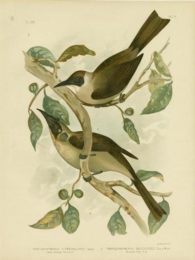 Yellow-Throated Friarbird or Little Friarbird, 1891-Gracius Broinowski-Giclee Print