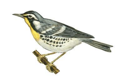 https://imgc.artprintimages.com/img/print/yellow-throated-warbler-dendroica-dominica-birds_u-l-q135jad0.jpg?p=0