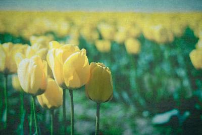 Yellow Tulip Field--Photographic Print