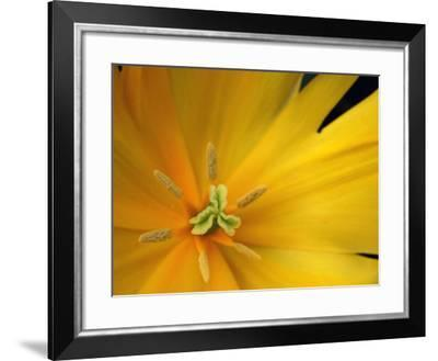 Yellow Tulip Study-Anna Miller-Framed Photographic Print