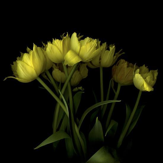 Yellow Tulips 1-Magda Indigo-Photographic Print
