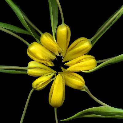 Yellow Tulips-Magda Indigo-Photographic Print