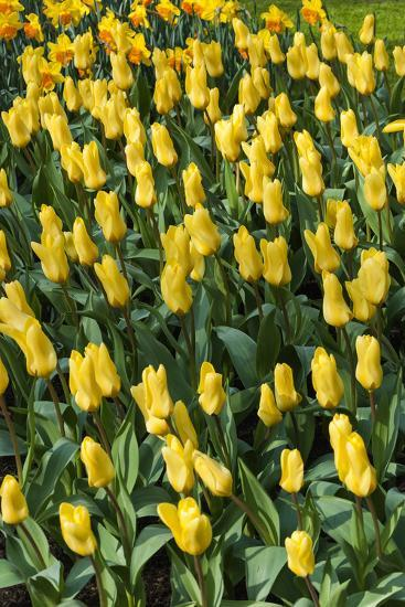Yellow Tulips-Anna Miller-Photographic Print