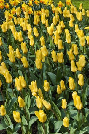https://imgc.artprintimages.com/img/print/yellow-tulips_u-l-q12yuov0.jpg?p=0