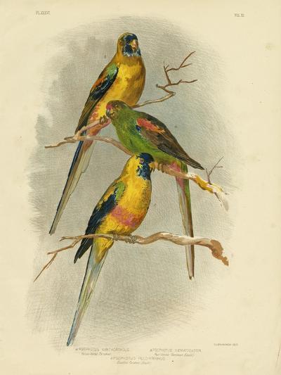 Yellow-Vented Parakeet, 1891-Gracius Broinowski-Giclee Print