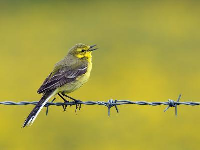 Yellow Wagtail Male Singing from Barbed Wire Fence, Upper Teesdale, Co Durham, England, UK-Andy Sands-Photographic Print
