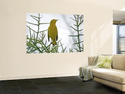 Yellow Warbler (Dentroica Petechia Aureola), Puerto Egas-Manfred Gottschalk-Wall Mural
