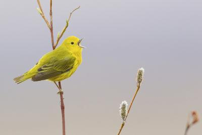 Yellow Warbler Singing-Ken Archer-Photographic Print