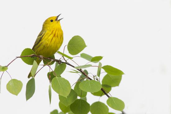 Yellow Warbler singing-Ken Archer-Premium Photographic Print