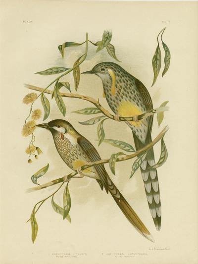 Yellow Wattlebird, 1891-Gracius Broinowski-Giclee Print