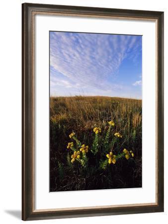 Yellow Wildflowers Grow on the Prairie-Michael Forsberg-Framed Photographic Print