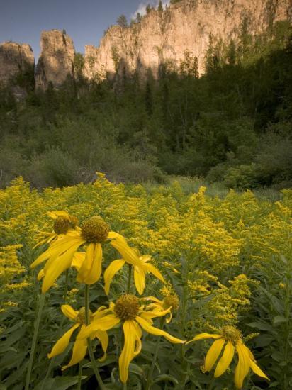 Yellow Wildflowers Growing in Spearfish Canyon, South Dakota-Phil Schermeister-Photographic Print