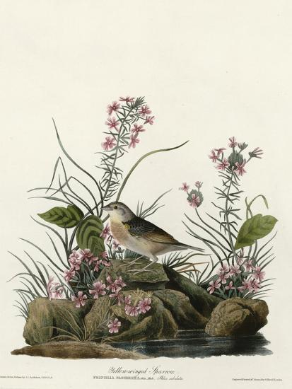 Yellow Winged Sparrow--Giclee Print