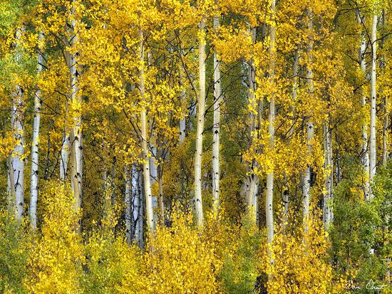 Yellow Woods II-David Drost-Photographic Print