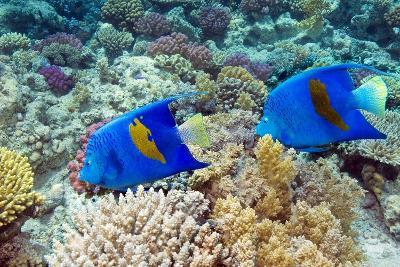 Yellowbar Angelfish-Georgette Douwma-Photographic Print