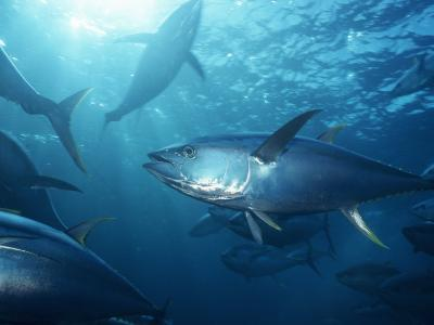 Yellowfin Tuna (Thunnus Albacares) in a Seine Net, Baja California, Mexico-Richard Herrmann-Photographic Print