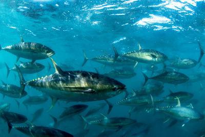 Yellowfin Tuna-Louise Murray-Photographic Print