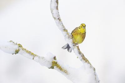 Yellowhammer (Emberiza Citrinella) Perched on Snowy Branch. Perthshire, Scotland, UK, February-Fergus Gill-Photographic Print