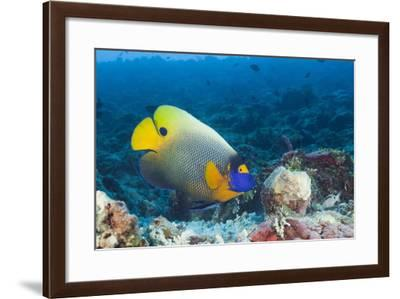 Yellowmask Angelfish (Pomacanthus Xanthometopon)-Reinhard Dirscherl-Framed Photographic Print