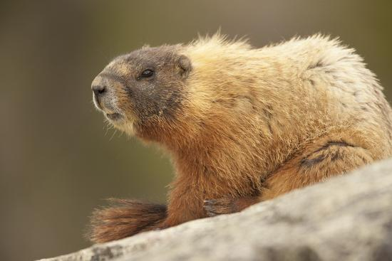 Yellowstone NP, Wyoming Yellow-bellied marmot keeping a watch with its teeth showing-Janet Horton-Photographic Print