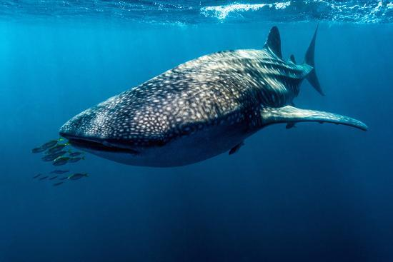 Yellowtail Fusilier Swim in Front of a Filter Feeding Whale Shark-Jason Edwards-Photographic Print