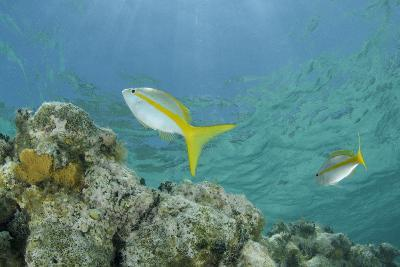 Yellowtail Snapper, Half Moon Caye, Lighthouse Reef, Atoll, Belize-Pete Oxford-Photographic Print