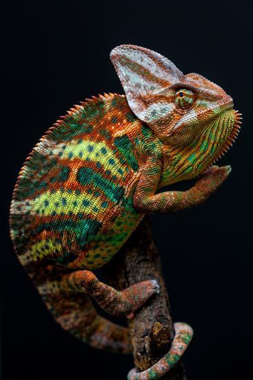 Yemen Chameleon-arturasker-Photographic Print