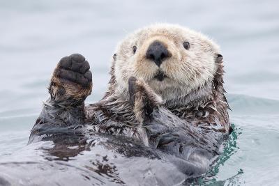 Yesterday I Caught a Fish Thiiis Big! - Otter. Alaska-Roman Golubenko-Photographic Print