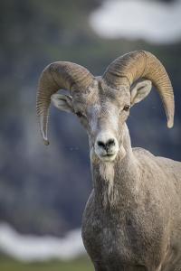 Bighorn sheep, Glacier National Park, Montana, USA by Yitzi Kessock