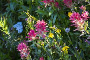 Glacier National Park, Montana. Alpine flower by Yitzi Kessock