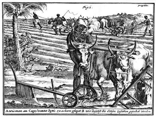 Yoking Oxen and Ploughing Fields, South Africa, 18th Century--Giclee Print