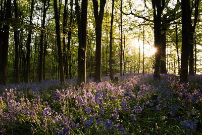 Dawn and Spring Sunshine Sparkles Life into an Ancient Chestnut Beech Woodland