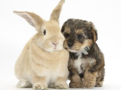 Yorkipoo Pup, 6 Weeks Old, with Sandy Rabbit-Mark Taylor-Photographic Print