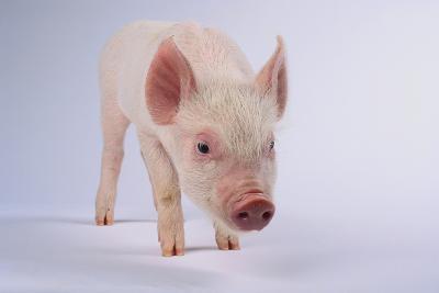 Yorkshire Pig-DLILLC-Photographic Print