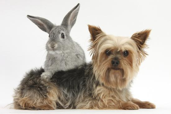 Yorkshire Terrier and Young Silver Rabbit-Mark Taylor-Photographic Print