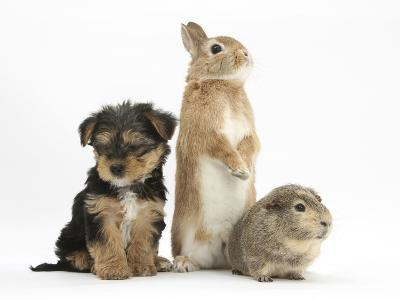 Yorkshire Terrier-Cross Puppy, 8 Weeks, with Guinea Pig and Sandy Netherland Dwarf-Cross Rabbit-Mark Taylor-Photographic Print