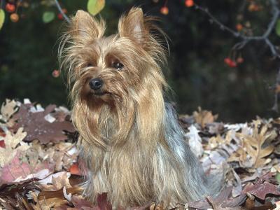 Yorkshire Terrier Dog, Illinois, USA-Lynn M^ Stone-Photographic Print