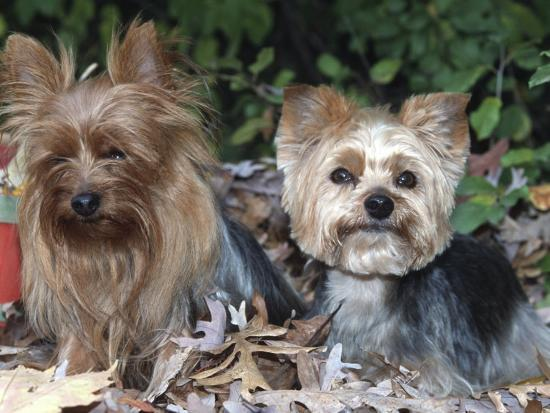 Yorkshire Terrier Dogs, One Clipped, Illinois, USA-Lynn M^ Stone-Photographic Print