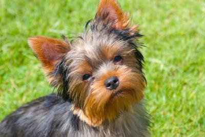 Yorkshire Terrier Looking Up at You-Zandria Muench Beraldo-Photographic Print
